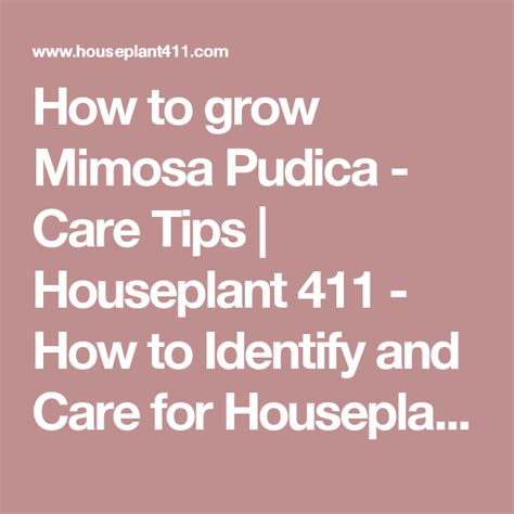 How to grow Mimosa Pudica - Care Tips   Houseplant 411