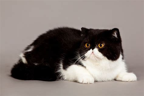 Exotic Shorthair Cat Breed: Size, Appearance & Personality
