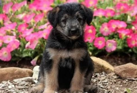 Shepadoodle - Mini Puppies For Sale | Puppy Adoption