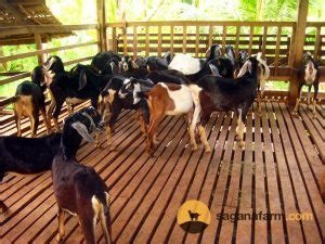The Advantages of Nubian Goats in the Philippines - Sagana