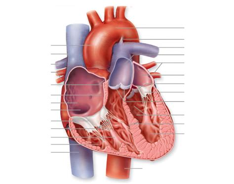 Frontal Section of Human Heart